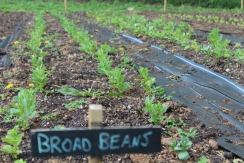Broad beans 1 copy