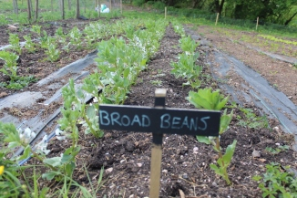 Broad beans 3 small