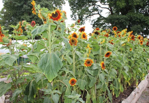 Sunflowers small