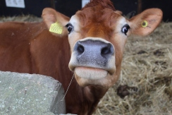 Cow close_up small