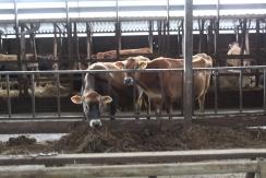 Cows 2 small