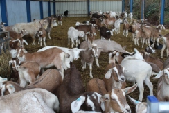 Goats_1 small